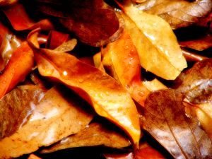 421086_autumn_or_fall_leaves_in_rain.jpg