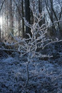 957856_little_frozen_tree.jpg